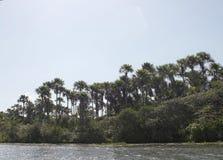 Le palme agglomerate buritizal del moriche Fotografia Stock