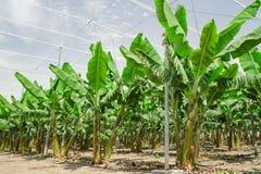 Le palme della banana rema sul frutteto di frutta coltivato Fotografie Stock
