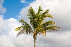 Le palmier avec le bleu blanc opacifie le fond photographie stock libre de droits
