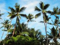Le palmier de noix de coco Images libres de droits