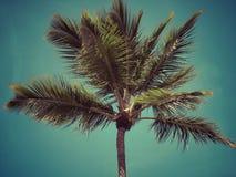 Le palmier de noix de coco photographie stock libre de droits