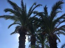 Le palmier tunisien sur le ciel bleu de fond Photos stock