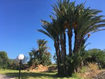Le palmier tunisien sur le ciel bleu de fond Photographie stock libre de droits