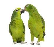 Le Panama Amazone et picoter Jaune-couronné d'Amazone Images libres de droits
