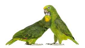 Le Panama Amazone et picoter Jaune-couronné d'Amazone image libre de droits
