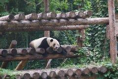 Le panda avec la bouche ouverte, s'est effondré sur le cadre de s'élever images libres de droits