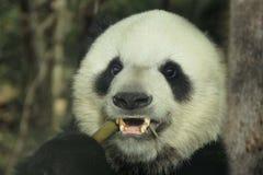 Le panda géant photographie stock libre de droits