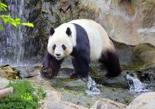 Le panda géant le panda blanc Photographie stock libre de droits
