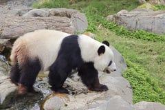 Le panda géant le panda blanc Images libres de droits