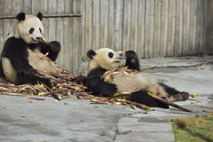 Le panda géant contre le mur pour manger des pousses de bambou ! Image libre de droits