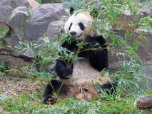 Le panda géant mangeant le bambou Photo stock