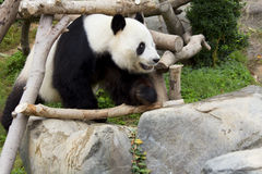 Le panda géant (panda blanc) Images stock