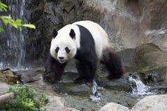 Le panda géant (panda blanc) Photographie stock