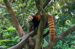 Le panda rouge dort sur l'arbre dans la jungle Images stock