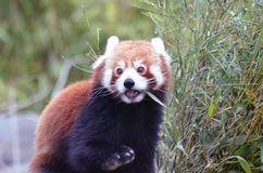 Le panda rouge est occupé photographie stock