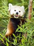Le panda rouge mange le régime régulier des pousses de bambou et des branchements d'arbre Photos stock