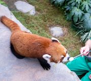 Le panda rouge mignon vivent dans le zoo de Hong Kong photo libre de droits