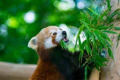 Le panda rouge sur l'arbre en bambou mangeant le bambou part Photo libre de droits
