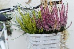 Le panier de la bruyère d'automne fleurit sur le vélo blanc Photo stock