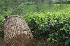 Le panier de la récolteuse de thé images stock