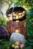 Le panier de pomme Images stock