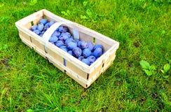 Le panier de prune Photographie stock