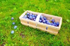 Le panier de prune Images libres de droits
