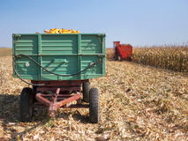 Le pannocchie di granoturco del cereale hanno caricato in un rimorchio Immagine Stock Libera da Diritti