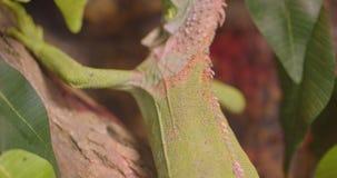 Le panorama de glissière a tiré de l'iguane vert ouvert et ferme des yeux étant séance calme et paisible sur le bâton dans la for banque de vidéos