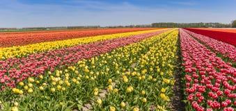 Le panorama de l'les tulipes colorées mettent en place dans Flevoland Photo libre de droits