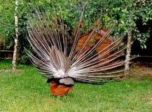Le paon avec la queue éventée danse - la vue du dos photo libre de droits