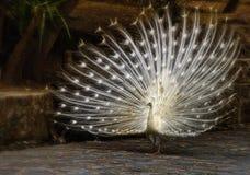 Le paon blanc photos libres de droits