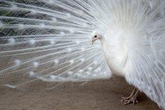 Le paon blanc avec les plumes s'est prolongé image stock