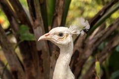 Le paon blanc ou le peafowl blanc s'appelle également le cristatus de Pavo images stock