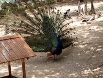 Le paon a dissous la queue dans le safari image libre de droits