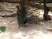 Le paon a dissous la queue en Safari Park de Gelendzhik images stock