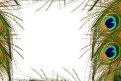 Le paon fait varier le pas à l'arrière-plan blanc avec l'espace de copie des textes Image libre de droits