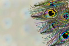 Le paon fait varier le pas à l'arrière-plan de taches floues avec l'espace de copie des textes Photographie stock libre de droits