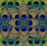 Le paon fait varier le pas de la texture de fond Couleurs vibrantes des plumes de paon en plan rapproché photos stock