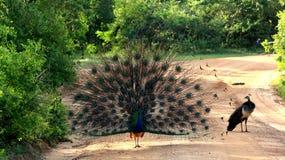 Le paon femelle observe le paon masculin ouvrir sa queue Images libres de droits