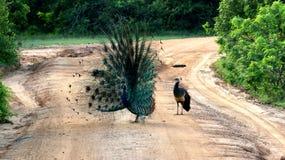 Le paon femelle observe le paon masculin ouvrir sa queue Photographie stock