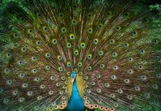 Le paon montre sa belle queue photographie stock libre de droits