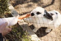 Le papa et la fille alimentent à nourriture le lapin blanc avec des carottes par une barrière de zoo Photo stock