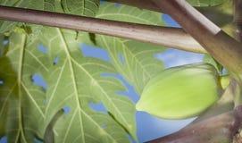 Le papayer avec le fond de feuilles Image stock