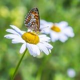 Le papillon à carreaux rougeâtre (aurelia de Melitaea) photos stock