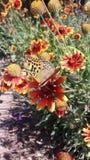 le papillon alimente sur le nectar de la fleur image stock