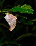 Le papillon assyrien royal Photographie stock libre de droits