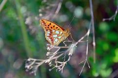 Le papillon avec a plié les ailes de couleur jaune-orange dans le sauvage Images libres de droits
