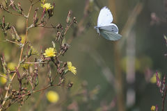 Le papillon blanc plane au-dessus des fleurs jaunes rassemblant le nectar Image stock