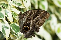 Le papillon bleu de Peleides Morpho Photo stock